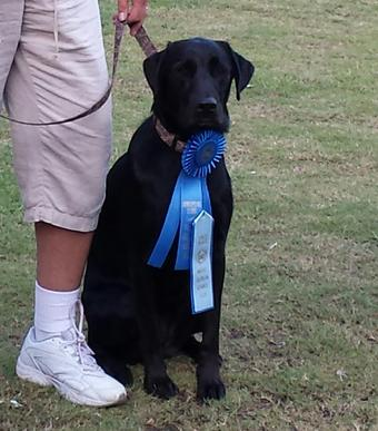 AKC REGISTERED LABRADORS FOR SALE IN FLORIDA