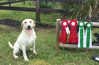 ACK REGISTERED YELLOW LABRADORS RETRIEVERS FOR SALE IN FLORIDA