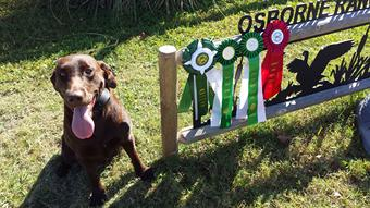 Labradors for Sale in Florida
